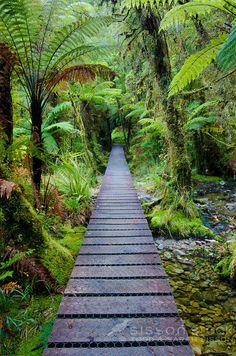 Track through ferns, native bush to Lake Matheson, near Fox Glacier, South Westland, New Zealand    NO NEW ZEALAND SOUVENIR OR POSTCARD LICENCING PERMITTED