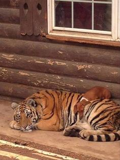A fearsome creature and his tiger friend :-)