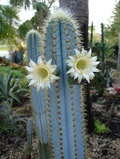 pilosocereus azureus, flowering cactus