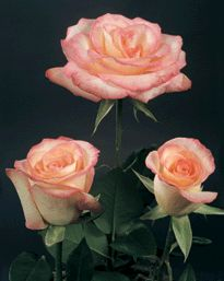 Roses: Bicolor,**( Cream with Pink Edging)** Variety:( Savoy)