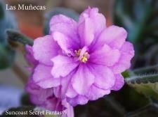 Saintpaulias-Violetas