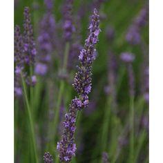 Lavender Phenomenal (Lavandula x intermedia Phenomenal)