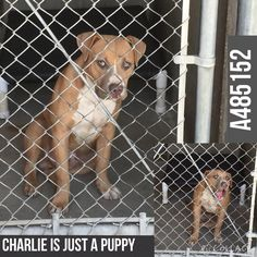 08/15/15- Pit a Boo August 13 · Edited · CHARLEY #A485152 (MUST EXIT ON 8/21) My name is Charley and I am a male, tan and white Pit Bull Terrier mix. I have been at the shelter since Aug 07, 2015. If I am not claimed, after my confiscation holding period, I may be available for adoption on Aug 21, 2015. For more information about this animal, call: San Bernardino City Animal Control at (909) 384-1304 Ask for information about animal ID number A485152 http://www.petharbor.com/pet.asp?uaid=