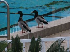 ducks about to swim in the pool