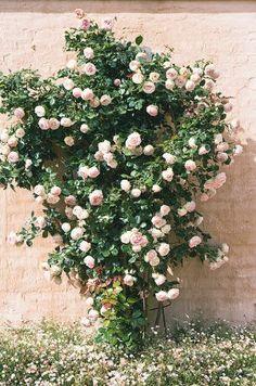 LOVE climbing roses garden