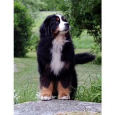 free sweet bernese mountain dogs care exclusive : The getting rid of degree of Bernese Mountain / hill puppies is fairly great in comparison to dogs for many causes: It features a LOT connected with t. Cute Puppies, Dogs And Puppies, Cute Dogs, Doggies, Corgi Puppies, Animals And Pets, Baby Animals, Cute Animals, Big Dogs
