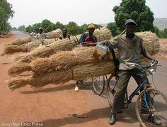 Transporte de cañizo en bici. Mali