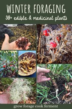 Although it might not seem like it, there are so many things to forage for in winter! There are quite a few things you can go foraging for in cold weather, such as lichens, mushrooms, seaweed, roots, and so much more. Here are over 30 edible and medicinal plants you can forage for in the winter to use in for cooking, or in your herbalism and natural medicine practice.