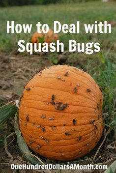 How to Deal with Squash Bugs. These buggers will eat everything. Plant mint, chives and tansy right with the squash.