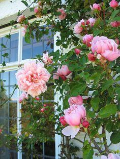 Albertine -  Rambling Rose - Once-bloomer