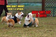 Funny meme of cute corgi dogs Corgi Meme, Corgi Dog, Funny Animal Pictures, Cute Funny Animals, Funny Cute, Funny Dogs, Cute Dogs, Hilarious, Funniest Pictures