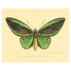 Green Butterfly print antique prints Nature art print butterfly decor... ($12) ❤ liked on Polyvore featuring home, home decor, wall art, garden home decor, butterfly wall art, garden wall art, butterfly home decor and green wall art