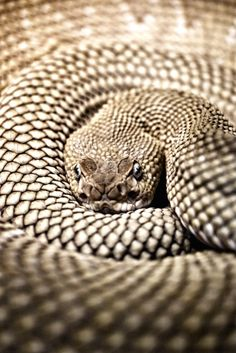 Coiled Snake - Awesome Patterns !