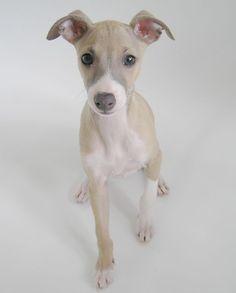 Darling Italian Greyhound puppy