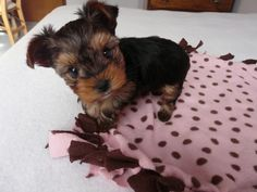 A puppy from the yorkie breeder where I got my Penny dog :)
