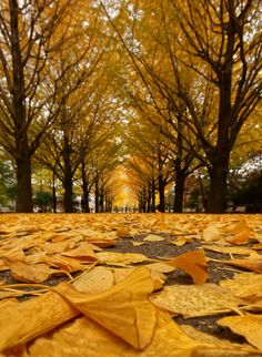 Ginkgo Leaves, Hikarigaoka Park, Tokyo