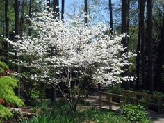Although I suppose in Phoenix andTucson,they have saguaro cactus tours and lava rock festivals, here in the South, there is one tree deserving of all the springtime adulation it gets -- the flowe...  @.com