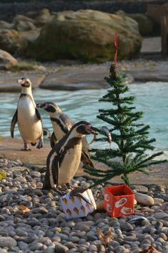 We wouldn't recommend that you use fish for Christmas decorations, but for a penguin there's nothing better!