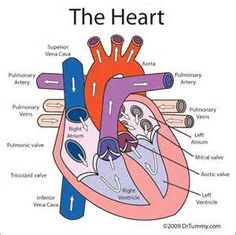 diagram of the heart - unmasa dalha, Human Body