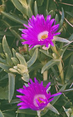 Carpobrotus glaucescens is a species of flowering plant in the ice plant family. It is a succulent coastal groundcover native to temperate eastern Australia