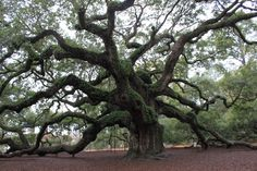 Angel Oak, John's Island SC