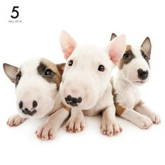 Artlist Collection THE DOG Bull Terrier calendar …