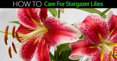 The beautiful and dainty Stargazer lily is a hybridized form of the famous Japanese wild red lily. Its fame is justified many times over by the exquisite color, the beautiful white edges of the flower (a natural highlight), and the strong and sturdy stem system. #spr #sum