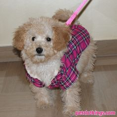 my Poodle wearing her coat