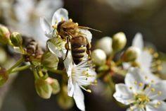 Free Image on Pixabay - Bee, Honey Bee, Insect, Pollen Pictures Images, Free Pictures, Free Images, Koi Betta, Fishing World, Plum Tree, Marine Fish, Earthworms, Bloom