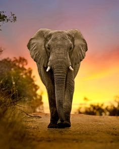 Md shohag hossain: YouYou can see a beautiful elephant in the picture and it is [& Elephant Images, Elephant Pictures, Elephants Photos, Animal Pictures, Bull Elephant, Elephant Love, Nature Animals, Baby Animals, Cute Animals
