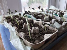 seedlings in egg cartons