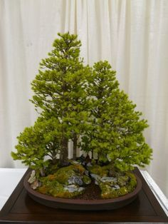 Image result for forest bonsai