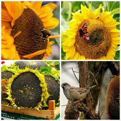 Growing Sunflower plants is a fun part of summer time gardening. These cheery sun-facing flowers are a delight to gardeners who wish to attract birds. Sunflower Facts, Sunflower Seeds, Growing Sunflowers, Planting Sunflowers, Sun Flowers, Happy Flowers, Vegetable Garden, Garden Plants, How To Attract Birds
