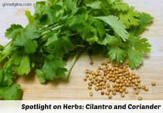 Spotlight on Herbs: Cilantro and Coriander | Cilantro has quickly become one of my favorite garden plants. It is incredibly easy to grow, and its beautiful leaves add a fresh burst of flavor to so many summertime dishes. Add its many health benefits and medicinal properties to the mix, and it's no wonder I grow this plant several of my gardens!| GNOWFGLINS.com
