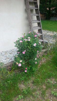 Rosa rugosa giugno 14