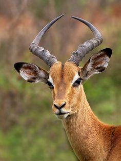 Gorgeous Gazelle~!!!