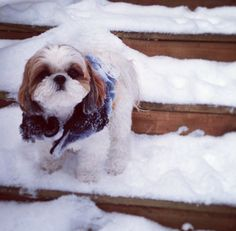 omg this looks like Shahni❤️ Shih tzu in the snow
