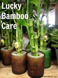 LUCKY BAMBOO ... tips to ensure your Lucky Bamboo gets the best possible CARE.