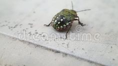 Video about A green shield beetle larva walking on a table. Video of insect, legs, walking - 102409733 Green Shield, Beetle, A Table, Walking, Stud Earrings, Insects, June Bug, Beetles, Stud Earring