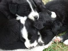 English Shepherd puppies - greatest dogs on earth