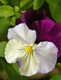 Pansy By Michele Coe