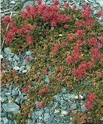 Acaena microphylla mi-ombre