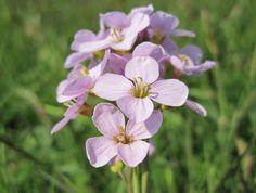 7 mei 2013 En opeens waren de bermen op Ameland roze van de `pinksterbloemen.