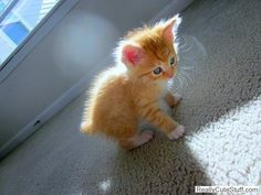 I have always wanted an orange kitten with white paws and white on it's chest!!! HOW STINKIN' CUTE!!