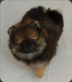 Bi-Mar Pomeranians washington breeder