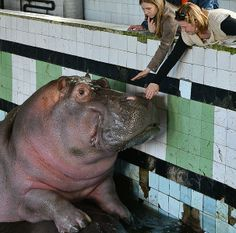 In one Russian city there is a pool-like structure where visitors can see real hippos. Imagine a pool you might have seen on Chernobyl pictures, back from Soviet times, with Soviet style tiles on the walls, Soviet murals but this time it is not abandoned and that rusty, but filled with some water, has  people inside visiting and real hippos inside indulging in their natural behavior. Here we can see it all.