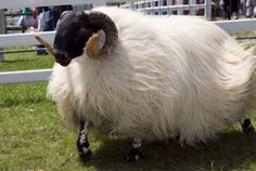 The Scottish Blackface. Tough & adaptable breed is often found in the more exposed locations, such as the Scottish Highlands or roaming on the moors of Dartmoor. Horned in both sexes, a black face sometimes with white markings, and black legs. This breed is primarily raised for meat. Strong Blackface wool undoubtedly makes the best mattress filling there is. Average fibre diameter of 38 to 28 micrometres (or microns), and staple length of 10 to 14 inches (250 to 360 mm).
