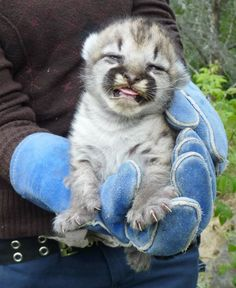 Cute cougar baby, but if you have to wear gloves to hold it is it really worth it?