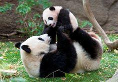 Pandas are good moms.
