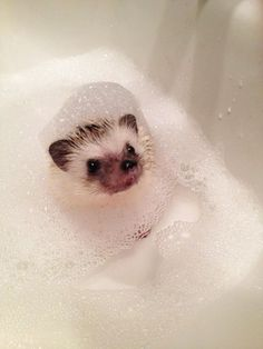 I would love love love someone FOREVER if they gotted me an adorable baby hedgehog!!!!! ♥